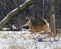 Running Whitetail Buck Stock Photo