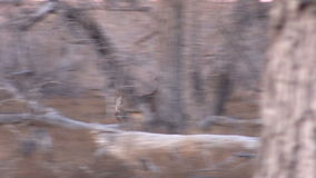 Running Whitetail Buck stock video footage