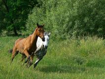 Running wild. Two horses, brown and white, running free on a country grass road with green trees at the back Stock Photos