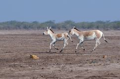 Running wild ass. Indian Wild Ass Sanctuary also known as the Wild Ass Wildlife Sanctuary is located in the Little Rann of Kutch in the Gujarat state of India Stock Photo
