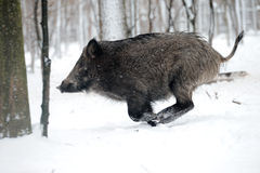 Running wild boar Royalty Free Stock Photo