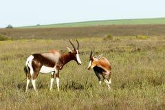 Running Wild The Bontebok Stock Photos