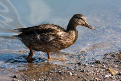 Running wild duck. Mallard duck out of the water Royalty Free Stock Photography