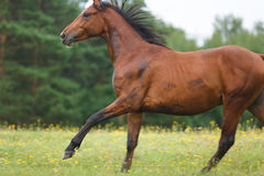 Running wild horse Stock Photography