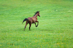 Running wild horse Stock Images