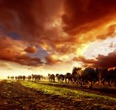 Running wild horses. In sunset Royalty Free Stock Photography
