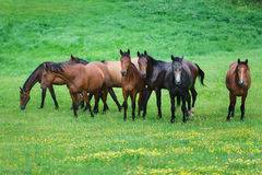Running wild horses Stock Photography