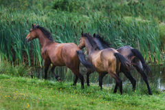 Running wild horses. On the meadow at the summer time Royalty Free Stock Photo
