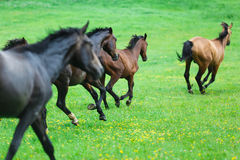 Running wild horses. On the meadow at the summer time Royalty Free Stock Photos