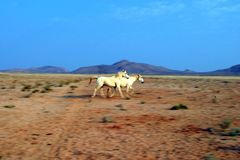 Running wild horses of Namibia stock image
