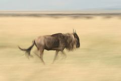 Running wildebeest Stock Images