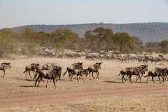 Running wildebeest in Savanna of Serengeti Plain, Tanzania royalty free stock images