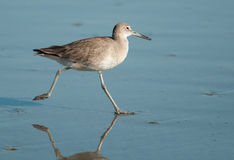 Running Willet Stock Image