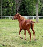 Running In The Wind. Young horse running in the wind stock images