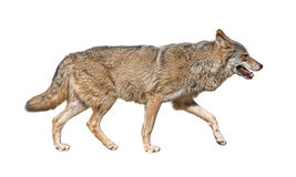 Running wolf cutout. Gray wolf (Canis lupus) run in hunting pursuit side view