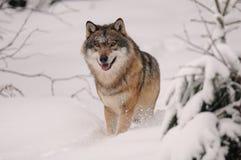 running wolf för canislupus Arkivbilder