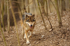 Running wolf from the front view Stock Photos