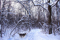 Running wolf in a snowy forest. Track in the winter snowy forest can present unexpected meeting Stock Images