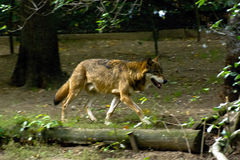 Running wolf. View of the wolf in the Prague ZOO Stock Images