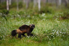 Running Wolverine in Finland tajga. Animal in the nature habitat stock image