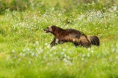 Running Wolverine in Finnish taiga. Wildlife scene from nature. Rare animal from north of Europe. Wild wolverine in summer cotton. Grass. Aninal behaviour in stock image