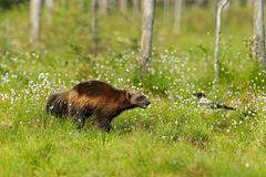 Running Wolverine in Finnish taiga. Wildlife scene from nature. Rare animal from north of Europe. Wild wolverine in summer cotton. Grass. Aninal behaviour in stock photos