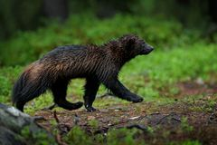 Running Wolverine in Russia taiga. Wildlife scene from nature. Rare animal from north of Europe. Wild wolverine in the night. Animal behaviour in the habitat stock photo