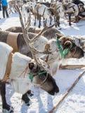 Running yamal reindeers Royalty Free Stock Image