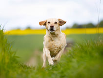 Running yellow labrador Stock Images