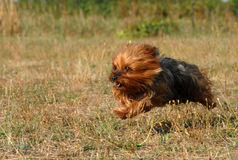 Running yorkshire terrier Stock Image