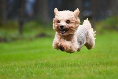Running yorkshire terrier Royalty Free Stock Photos