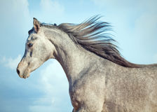 Running young arabian filly. Isolated Stock Photography