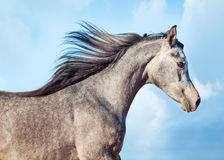 Running young arabian filly. Isolated Royalty Free Stock Photos