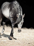 Running young arabian filly isolated  at black. Outdoor, sunny  day Stock Image