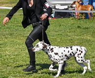 Running with a young dalmatians dog. In spring time stock image