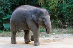 Running young elephant Stock Photo