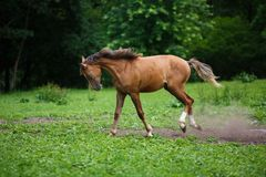 Running young foal Royalty Free Stock Image