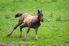 Running young foal Stock Photo