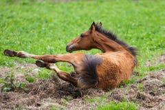 Running young foal Stock Photos