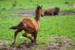Running young foal Stock Photography