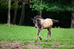 Running young foal Royalty Free Stock Photos