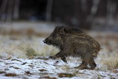 Running young Wild boar, Sus scrofa, in winter forest with snow Stock Photos