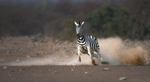 Free Running Zebra Royalty Free Stock Photography - 15228467