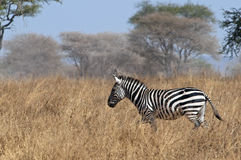 Running zebra Stock Images