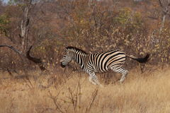 Running Zebra Stock Photos