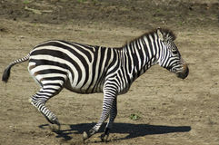 Running Zebra Stock Photo