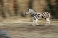 Running Zebra. Using slower shutter speed and panning camera with zebra as it ran Stock Image