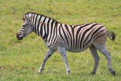 Running Zebra Royalty Free Stock Image