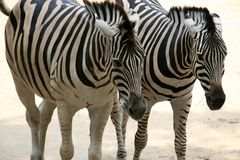Running Zebra couple. A zebra couple running in close-up stock images