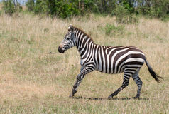 Running zebra, masai mara, kenya Royalty Free Stock Photos